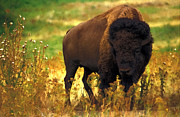 Bison Mixed Media Prints - Bison Print by EricaMaxine  Price