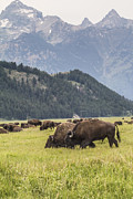 Creative Mind Photography - Bison Family