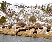 Lloyd Alexander-Pictures for a Cause - Bison Grazing