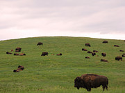 Ranch Photo Prints - Bison Herd Print by Olivier Le Queinec