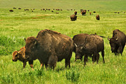 Charles Kozierok Art - Bison Herd on the Move by Charles Kozierok