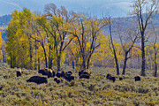 Bison Originals - Bison in the Cottonwoods by Robert Carney