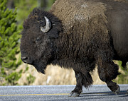 Bison Photos - Bison in the Passing lane by Gary Langley