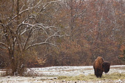 Bare Trees Prints - Bison in the Snow Print by Iris Greenwell