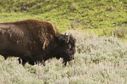 Jack R Perry - Bison