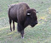Bison Print by John Telfer