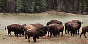 American Bison Prints - Bison  Print by Joseph G Holland