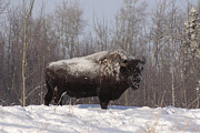 Bison Photos - Bison by Larysa Luciw