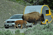 Bruce Gourley - Bison Mom and Calf and...