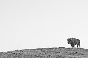 Buffalo Photos - Bison On a Hill  BW by James Bo Insogna