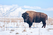 Antelope Island Framed Prints - Bison on Antelope Island Utah Framed Print by Carolyn Rauh