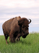 Faux Finish Framed Prints - Bison on the Prairie Framed Print by Olivier Le Queinec