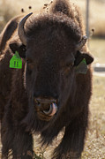 Bison Photos - Bison One Horn Tongue in Nose by Melany Sarafis