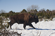 Rural Snow Scenes Framed Prints - Bison Running in Snow Framed Print by Melany Sarafis