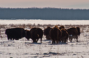 Bison Photos - Bison winter landscape 2 by Michael  Nau