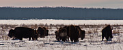 Bison Photos - Bison winter landscape 3 by Michael  Nau