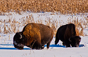 Bison Photos - Bison winter landscape 4 by Michael  Nau