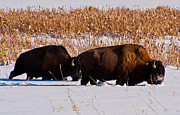 Bison Photos - Bison winter landscape by Michael  Nau