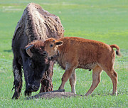 Bill Gabbert - Bison with young calf