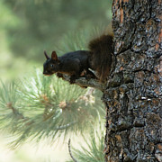 Tufted Ears Prints - Black Aberts Squirrel in Tree Print by Julie Magers Soulen