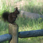 Tufted Ears Prints - Black Aberts Squirrel on Post Print by Julie Magers Soulen