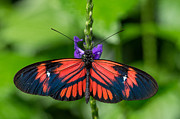 Black And Red Butterfly Print by Tracy Munson
