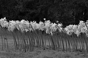 Denice Breaux - Black and White Amaryllis