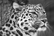 Chris Boulton - Black and White - Amur...