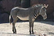 Zebra Pastels - Black and White by Becky Tipton