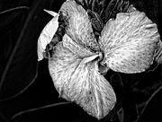 Canna Framed Prints - Black and White Canna Flower Framed Print by Eva Thomas