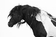 Wild Horse Posters - Black and White Poster by Carol Walker