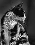 Pet Portraits Framed Prints - Black and White Cat in Profile  Framed Print by Jennie Marie Schell
