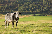 Pastoral Photos - Black and white cow by Jane Rix