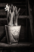 Daffodil Framed Prints - Black and White Daffodil Framed Print by Ian Barber