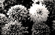 Sumit Mehndiratta - Black and white Dahlia bunch