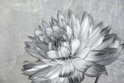 Kim Hojnacki - Black and White Dahlia