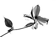 Debbie Green - Black and White Dogwood