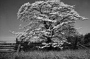 Cornus Prints - Black and White Dogwood Rail Fence Print by Thomas R Fletcher