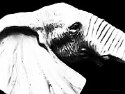 Buy Art Online Acrylic Prints - Black And White - Elephant Head Shot Art Acrylic Print by Sharon Cummings