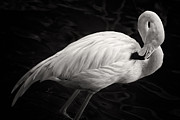 Adam Romanowicz - Black and White Flamingo
