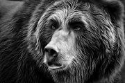 Hunger Framed Prints - Black and White Grizzly Bear Framed Print by Athena Mckinzie