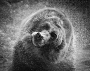 Attack Dog Photos - Black and White Grizzly by Steve McKinzie