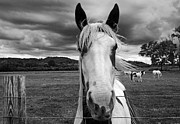 Blowing Hair Prints - Black and White Horse Print by Steven  Michael