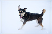 Christmas Dogs Prints - Black and White Husky Playing in the Snow Print by Crystal Wightman