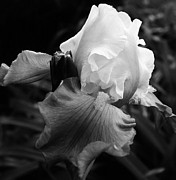 Denver Botanical Garden Prints - Black and White Iris 2 Print by Bruce Bley