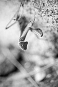 Prayingmantis Photos - Black and White Mantis 2 by Anna Marie Koonce