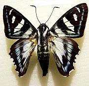 Black And White Moth Print by Rosalie Scanlon