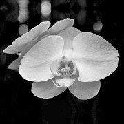 Heather Kirk - Black and White Orchid with Lights - SQUARE