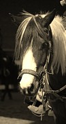 Equine Pyrography Posters - Black and White Pinto Poster by Donna Stiffler