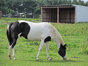 Quarterhorses Posters - Black And White Quarterhorse Poster by Tina M Wenger